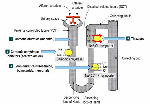 Tubule Transport System and Diuretics Mechanism of Action